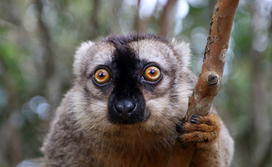 common brown lemur